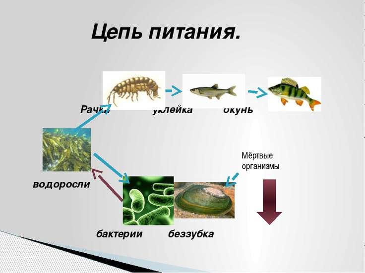 Цепь питания. Рачки уклейка окунь водоросли бактерии беззубка Мёртвые организмы