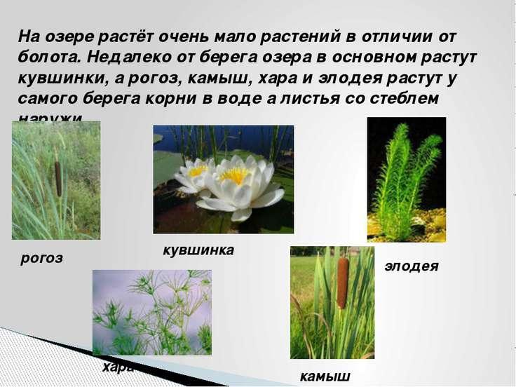 На озере растёт очень мало растений в отличии от болота. Недалеко от берега о...