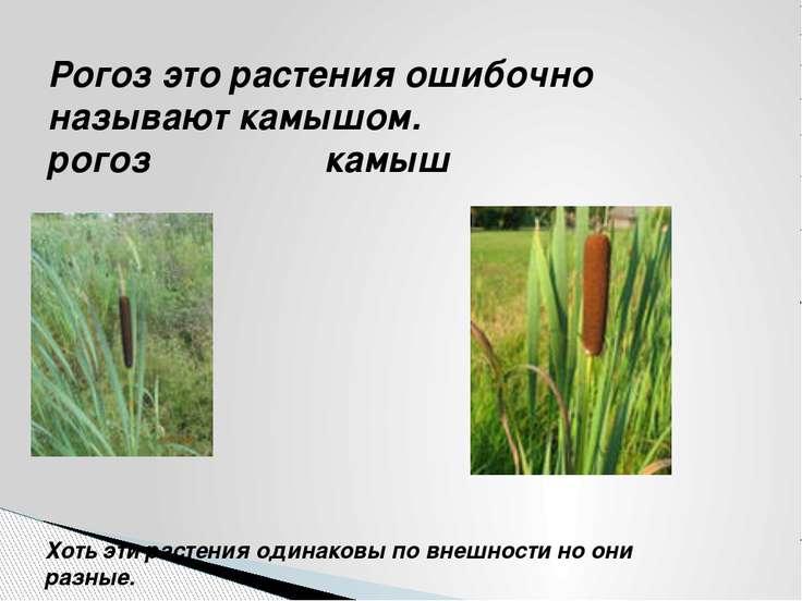 Рогоз это растения ошибочно называют камышом. рогоз камыш Хоть эти растения о...