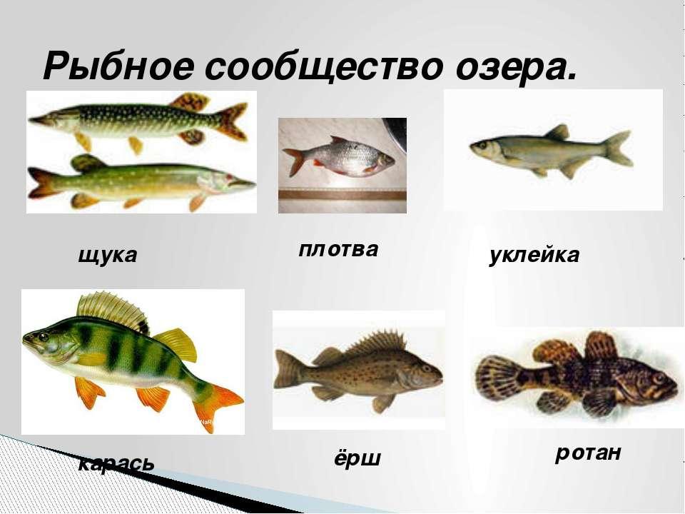 Рыбное сообщество озера. щука плотва уклейка карась ёрш ротан