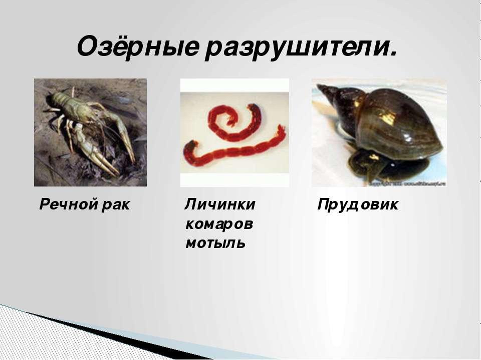 Озёрные разрушители. Речной рак Личинки комаров мотыль Прудовик