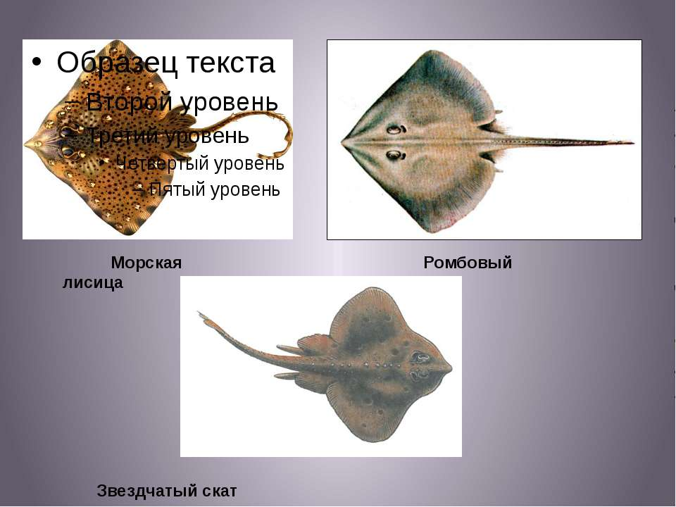 Морская лисица Ромбовый скат Звездчатый скат