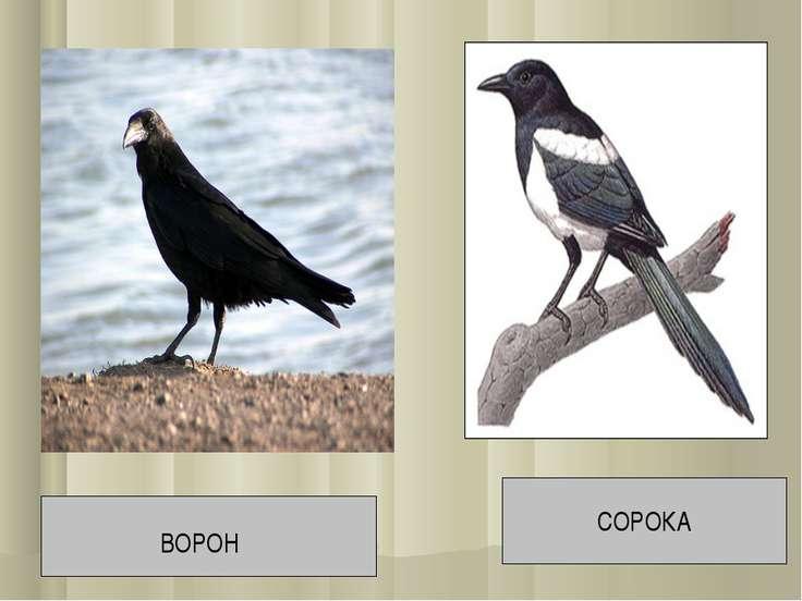 СОРОКА ВОРОН