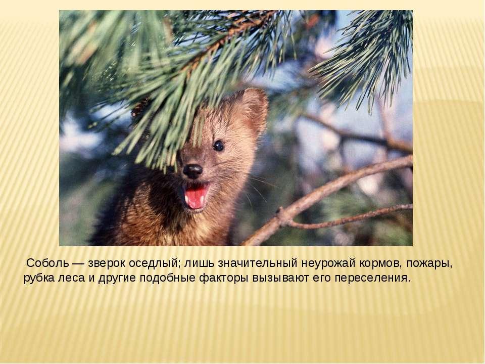 Соболь — зверок оседлый; лишь значительный неурожай кормов, пожары, рубка лес...