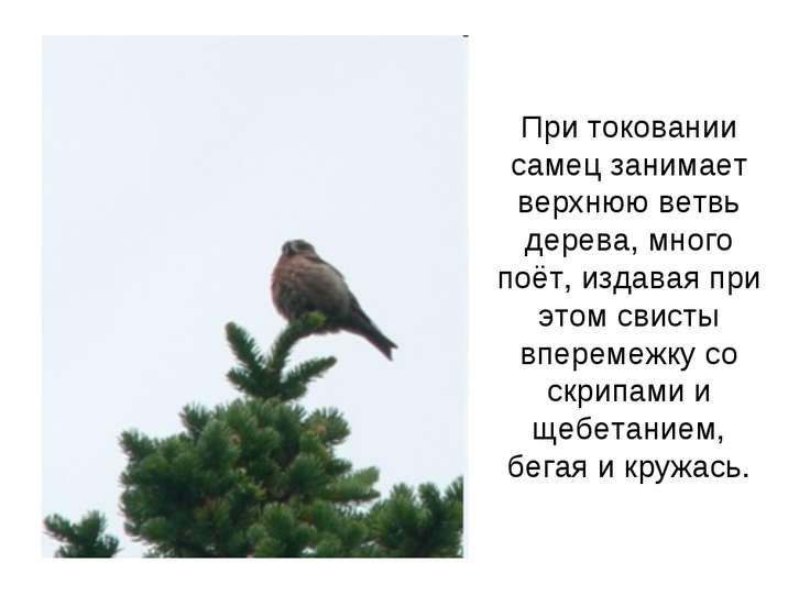 При токовании самец занимает верхнюю ветвь дерева, много поёт, издавая при эт...