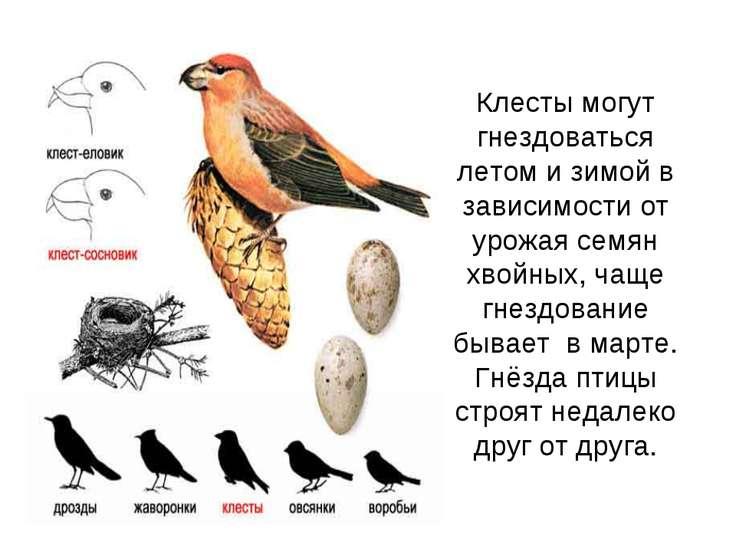 Клесты могут гнездоваться летом и зимой в зависимости от урожая семян хвойных...