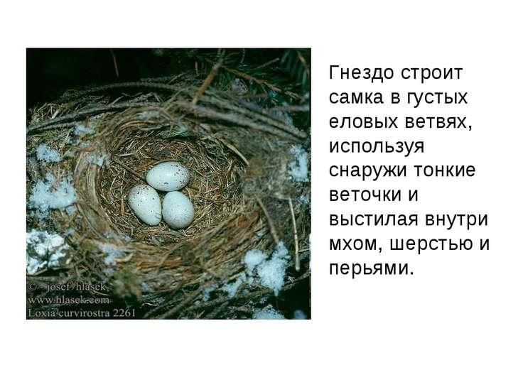 Гнездо строит самка в густых еловых ветвях, используя снаружи тонкие веточки ...