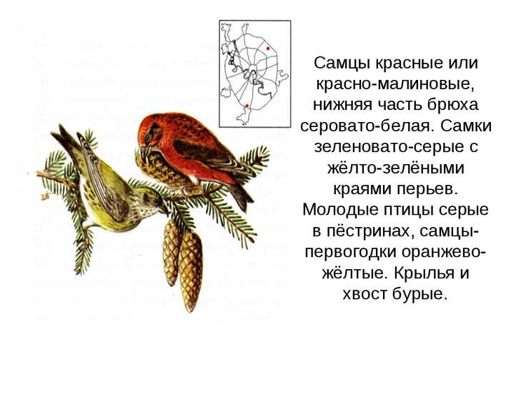 Самцы красные или красно-малиновые, нижняя часть брюха серовато-белая. Самки ...