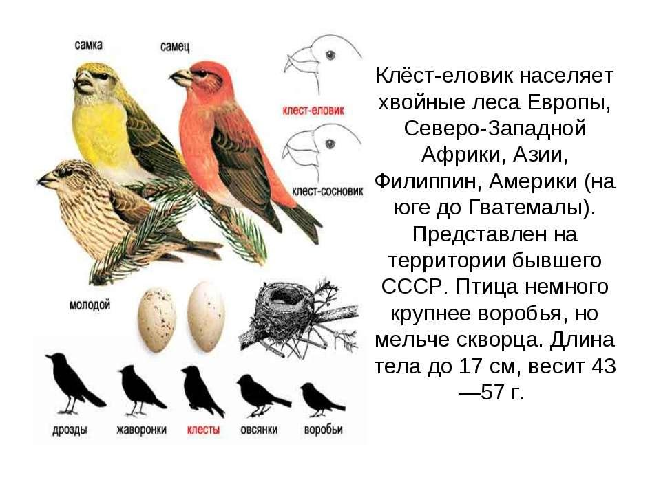 Клёст-еловик населяет хвойные леса Европы, Северо-Западной Африки, Азии, Фили...