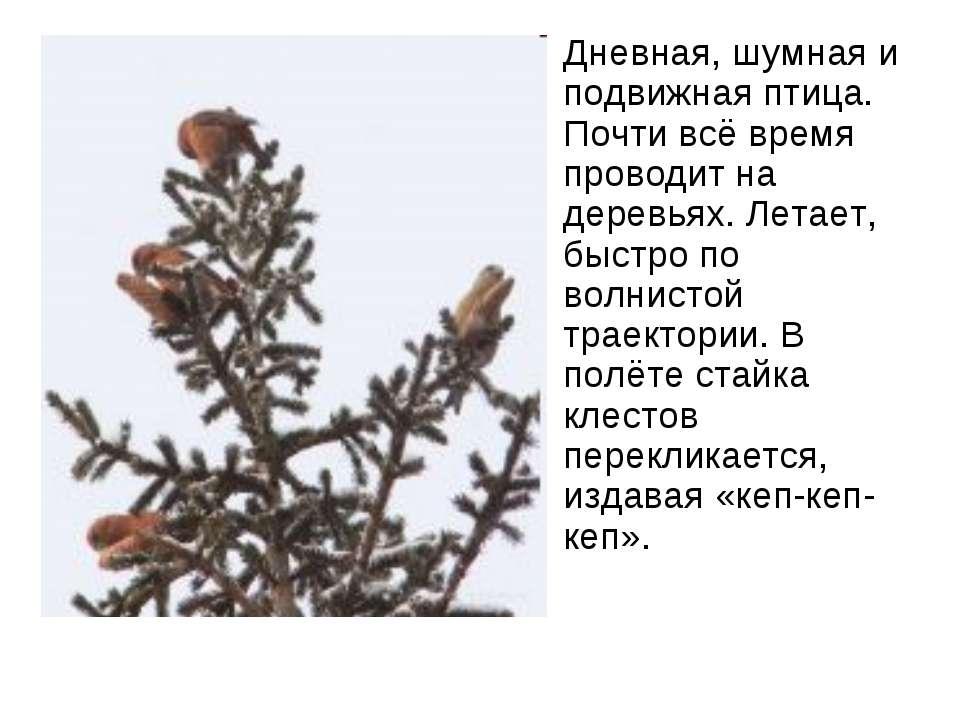Дневная, шумная и подвижная птица. Почти всё время проводит на деревьях. Лета...