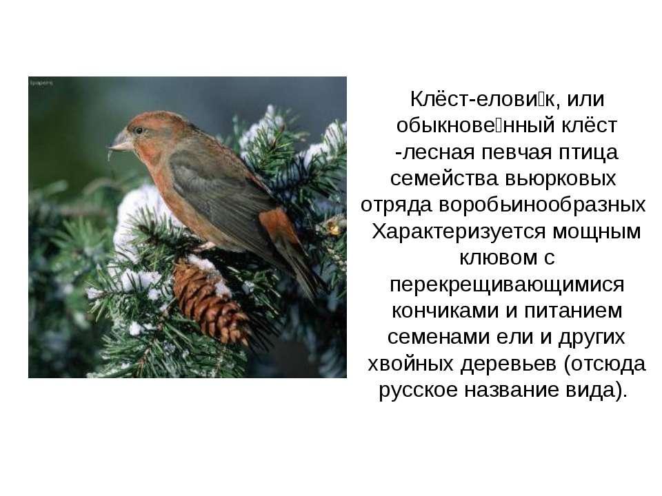 Клёст-елови к, или обыкнове нный клёст -лесная певчая птица семейства вьюрков...
