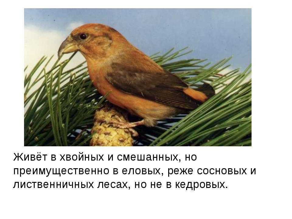 Живёт в хвойных и смешанных, но преимущественно в еловых, реже сосновых и лис...