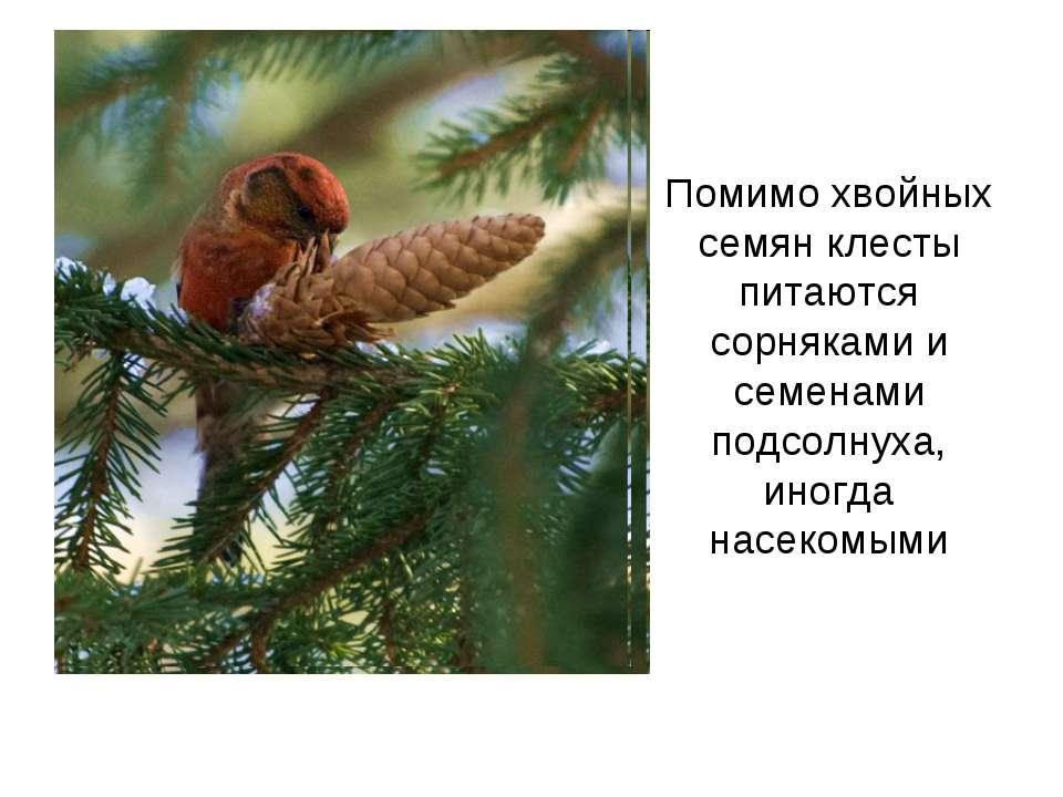 Помимо хвойных семян клесты питаются сорняками и семенами подсолнуха, иногда ...