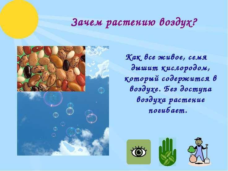 Зачем растению воздух? Как все живое, семя дышит кислородом, который содержит...