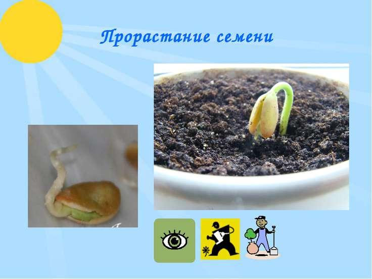 Прорастание семени