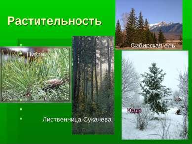 Растительность Сибирская ель Пихта Кедр Лиственница Сукачёва