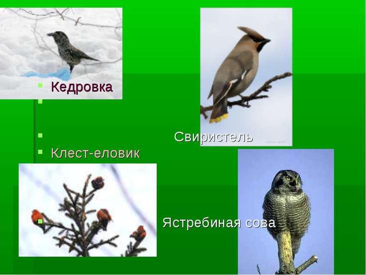 Кедровка Свиристель Клест-еловик Ястребиная сова