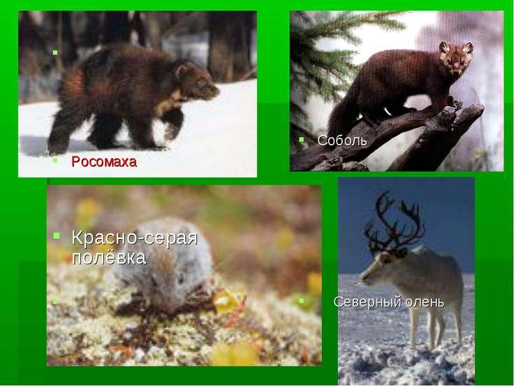 Росомаха Красно-серая полёвка Соболь Северный олень