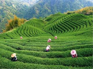 Первая чайная плантация в Грузии.