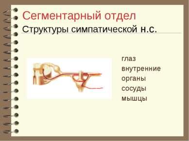Сегментарный отдел Структуры симпатической н.с. глаз внутренние органы сосуды...