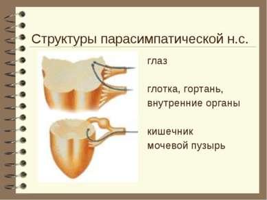Структуры парасимпатической н.с. глаз глотка, гортань, внутренние органы кише...