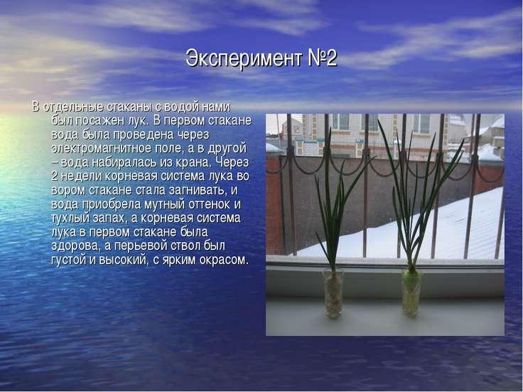 Эксперимент №2 В отдельные стаканы с водой нами был посажен лук. В первом ста...