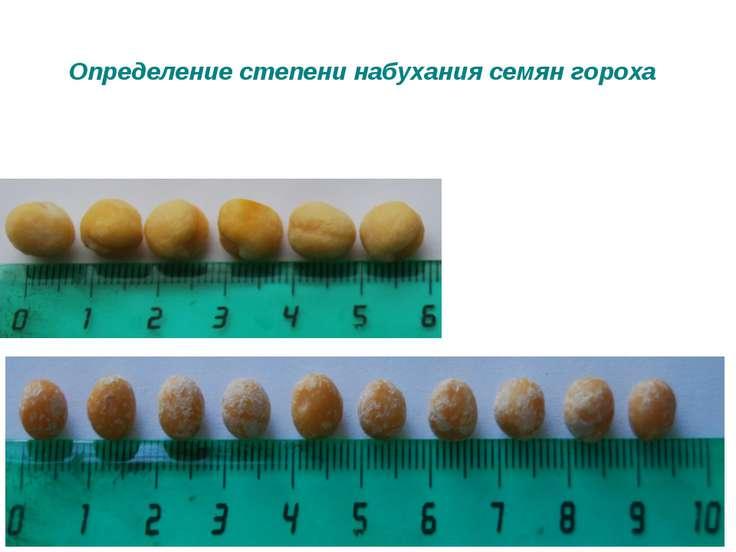 Определение степени набухания семян гороха