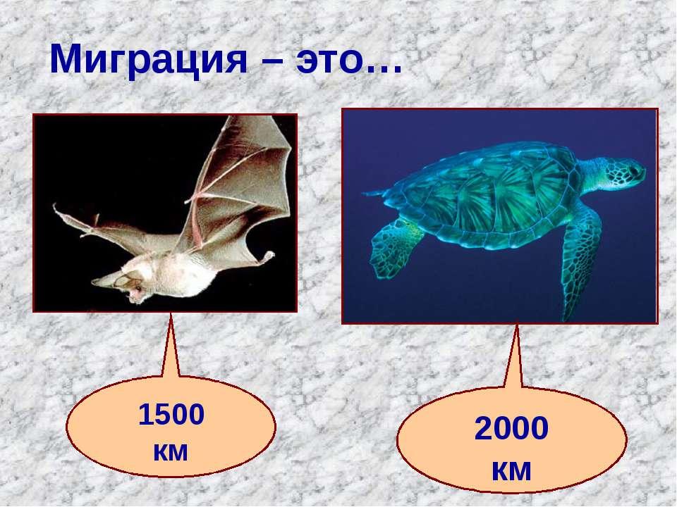 Миграция – это… 1500 км 2000 км