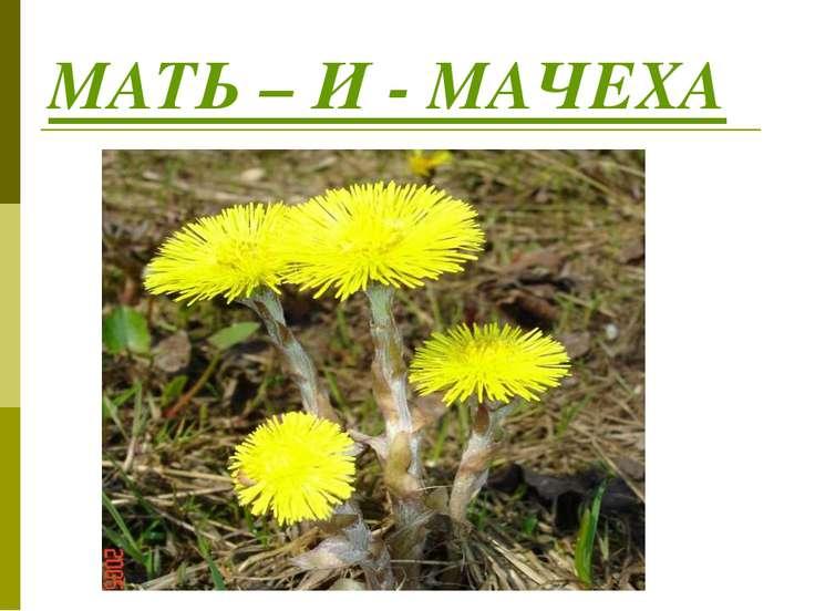 МАТЬ – И - МАЧЕХА