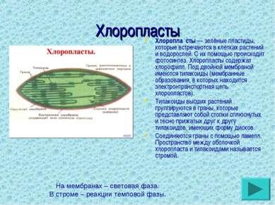 Хлоропласты Хлоропла сты— зелёные пластиды, которые встречаются в клетках ра...