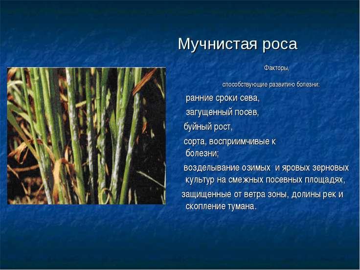Мучнистая роса Факторы, способствующие развитию болезни: ранние сроки сева, з...