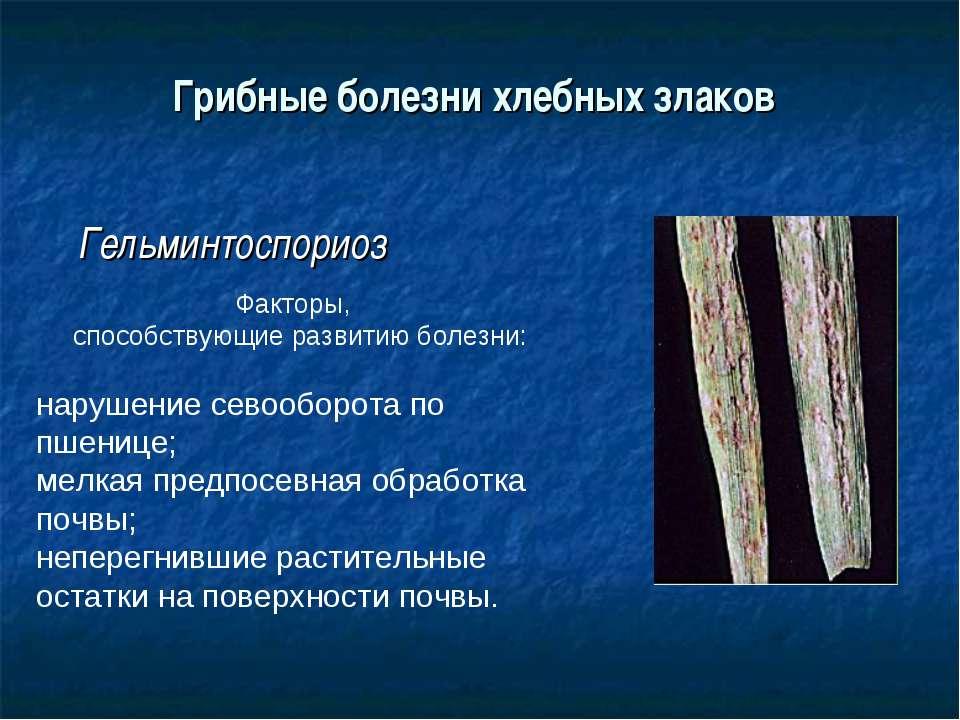 Грибные болезни хлебных злаков Гельминтоспориоз Факторы, способствующие разви...