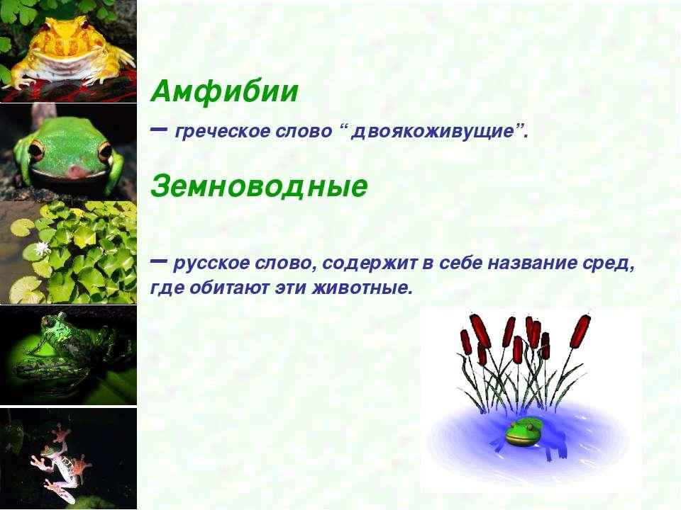 """Амфибии – греческое слово """" двоякоживущие"""". Земноводные – русское слово, соде..."""