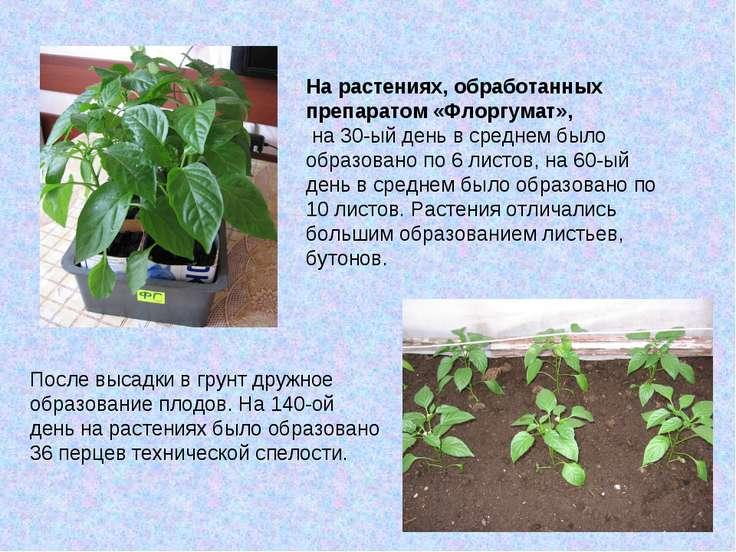 После высадки в грунт дружное образование плодов. На 140-ой день на растениях...