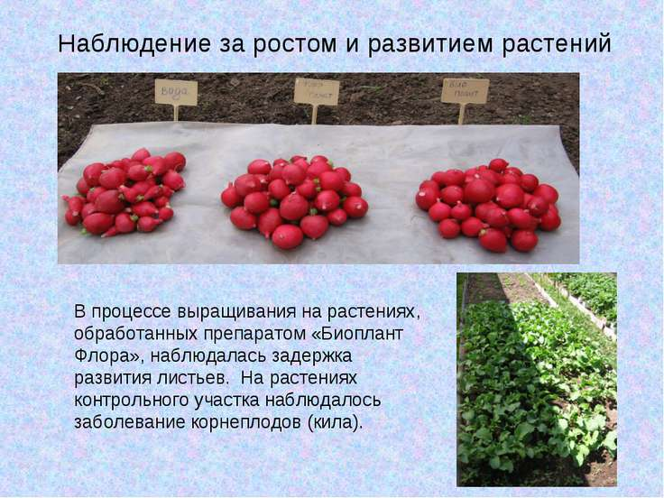 Наблюдение за ростом и развитием растений В процессе выращивания на растениях...