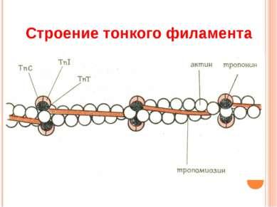 Строение тонкого филамента
