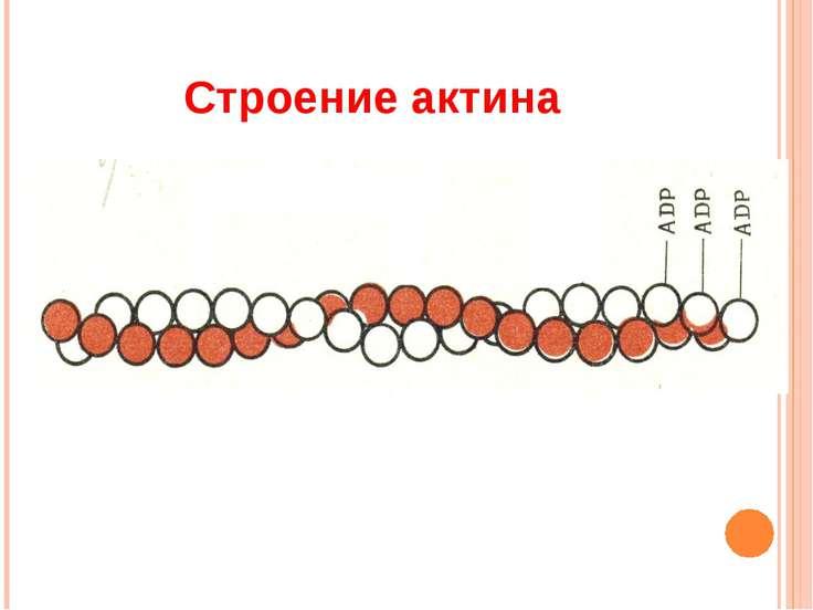 Строение актина