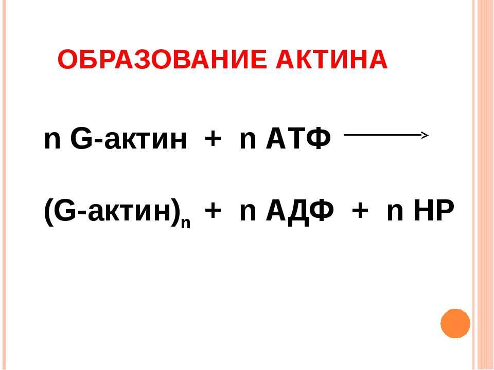 ОБРАЗОВАНИЕ АКТИНА n G-актин + n АТФ (G-актин)n + n АДФ + n НР