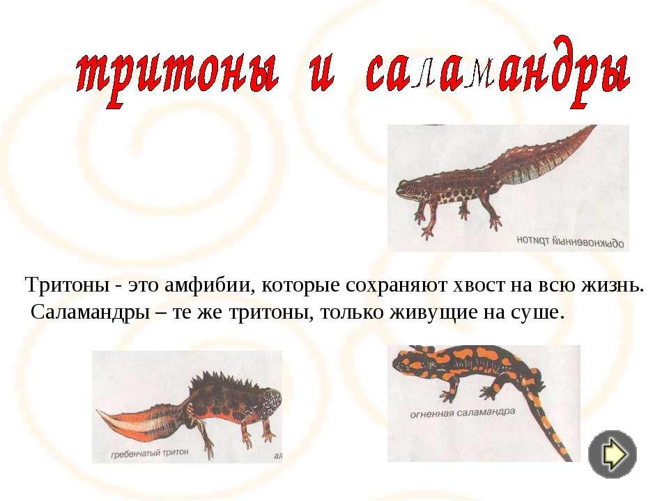 Тритоны - это амфибии, которые сохраняют хвост на всю жизнь. Саламандры – те ...