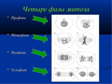 Четыре фазы митоза Профаза Метафаза Анафаза Телофаза