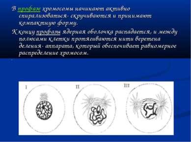 В профазе хромосомы начинают активно спирализоваться- скручиваются и принимаю...