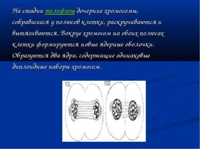 На стадии телофазы дочерние хромосомы, собравшиеся у полюсов клетки, раскручи...