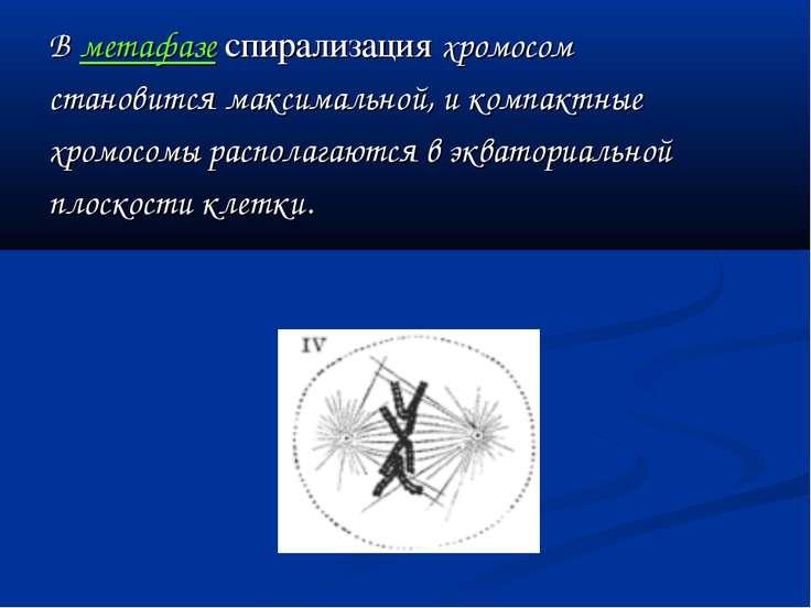 В метафазе спирализация хромосом становится максимальной, и компактные хромос...