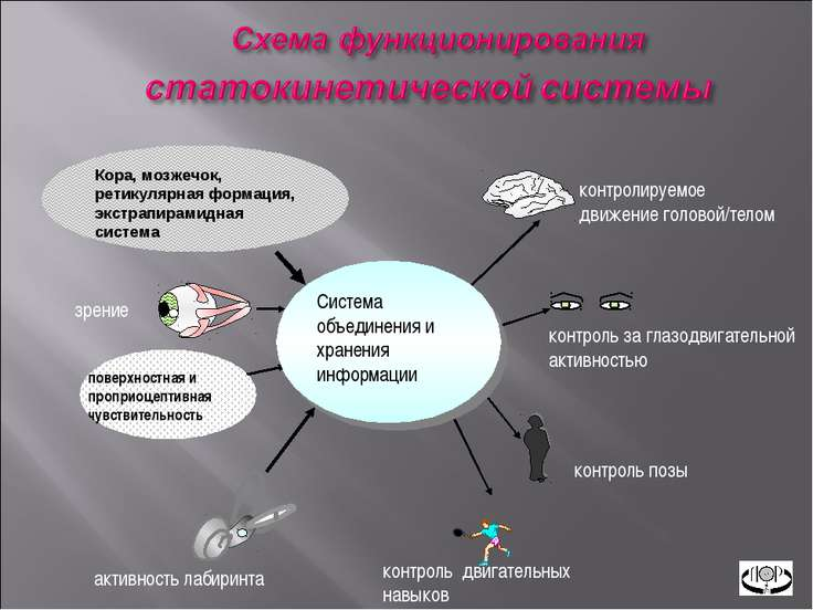Кора, мозжечок, ретикулярная формация, экстрапирамидная система активность ла...