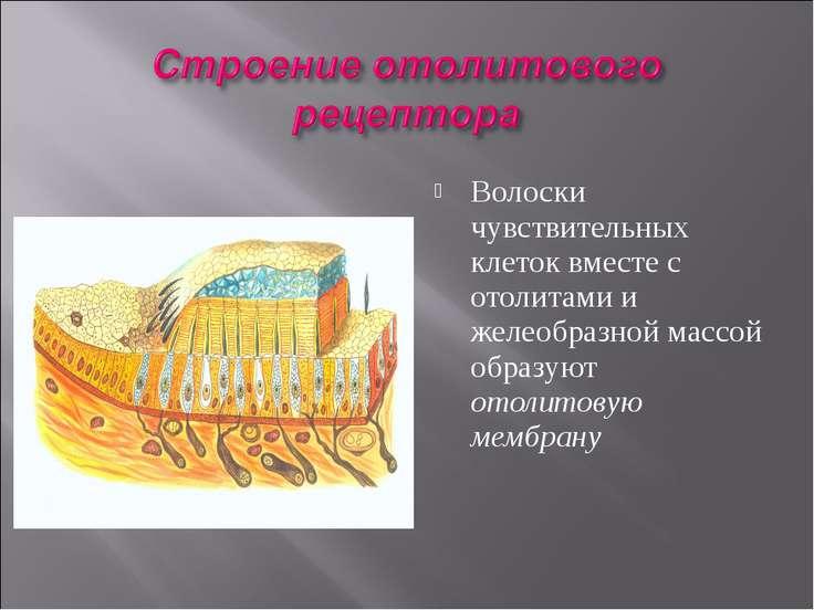 Волоски чувствительных клеток вместе с отолитами и желеобразной массой образу...
