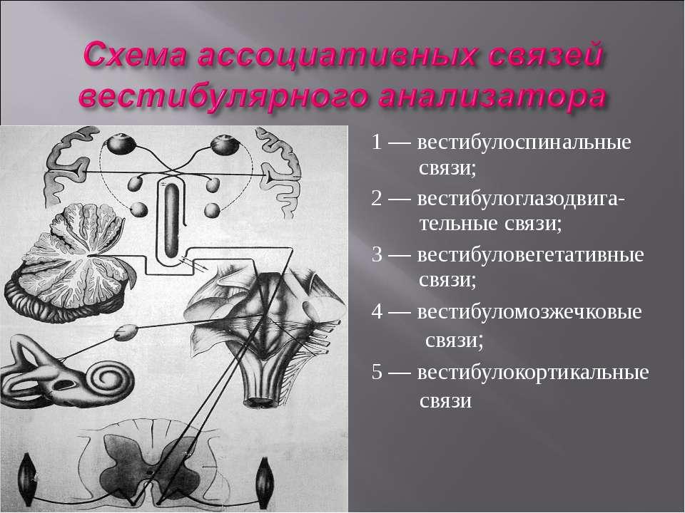 1 — вестибулоспинальные связи; 2 — вестибулоглазодвига- тельные связи; 3 — ве...