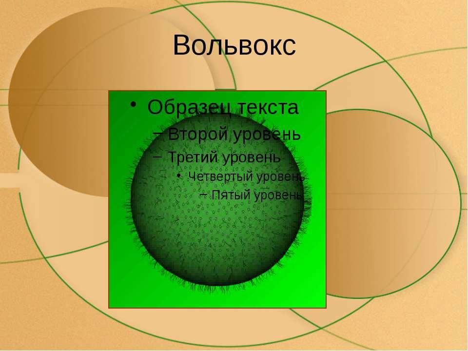 Вольвокс