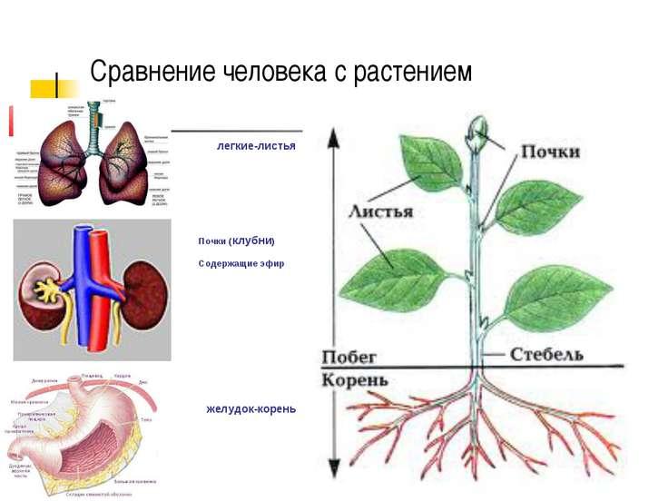Сравнение человека с растением Почки (клубни) Содержащие эфир легкие-листья ж...