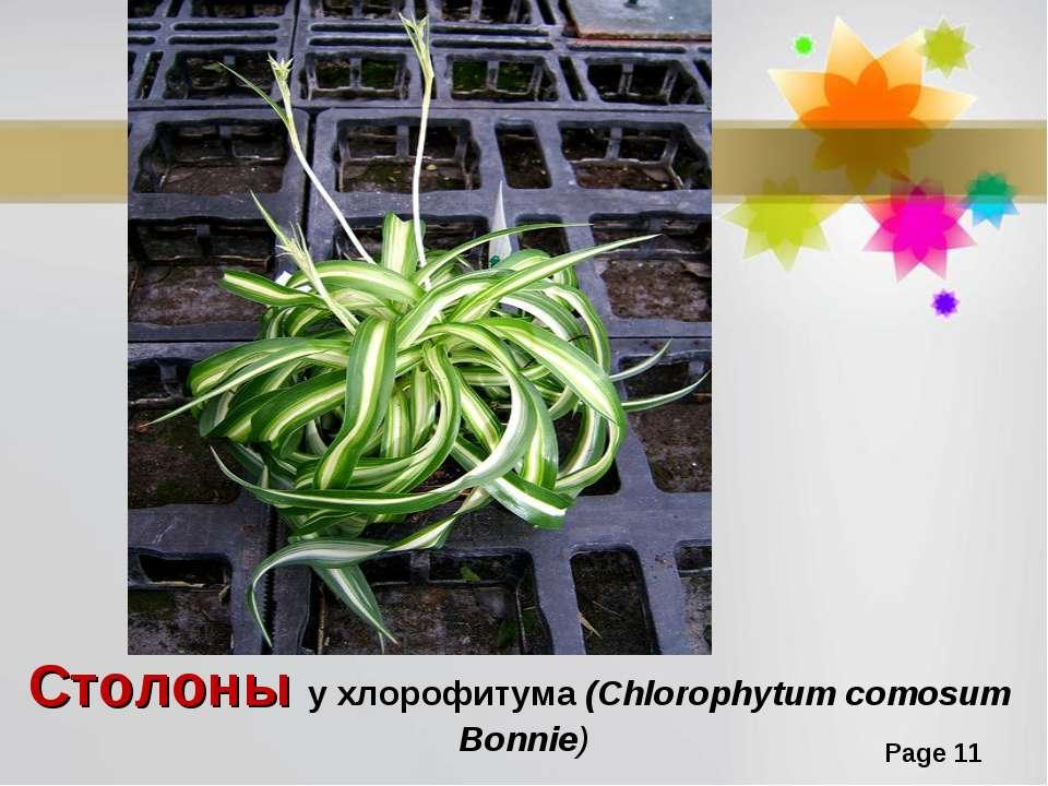 Столоны у хлорофитума (Chlorophytum comosum Bonnie) Page *