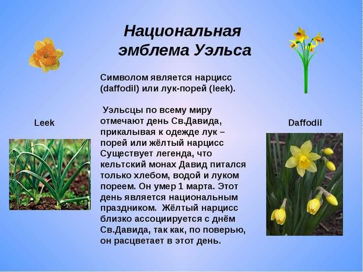Национальная эмблема Уэльса Символом является нарцисс (daffodil) или лук-поре...